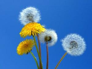 allergie berkenpollen
